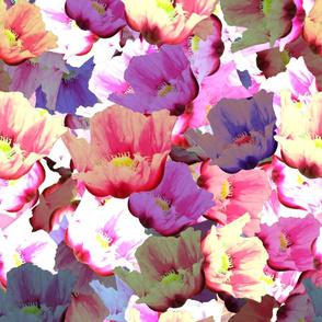 Crazy poppies