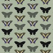 Papilio Macheon 1