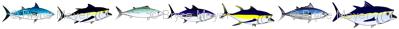 7 Tuna bigger