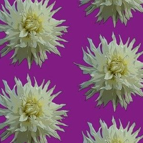 White Dahlia in Purple