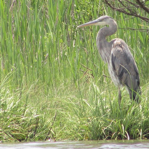 Heron at Back Bay