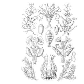 Ernst Haeckel -Black and White 1