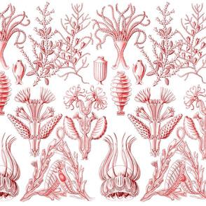 Ernst Haeckel - Red v2
