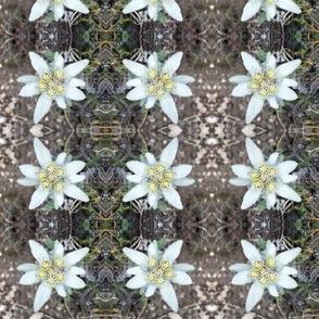 edelweiss - alpine star 2