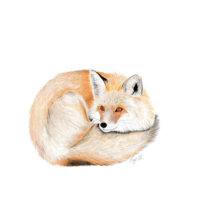 Curled up fox