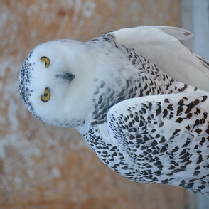 hedwig, the snowy owl - FQ