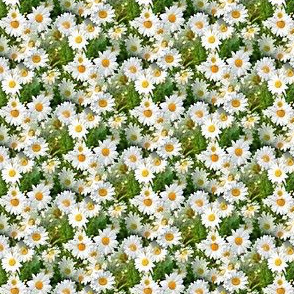 small daisys