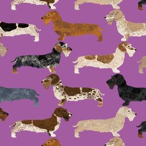 wire haired dachshunds dogs dog pet dog purple cute dogs