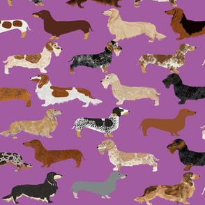dachshunds dogs pet dogs doxie wiener dogs pet dogs dog