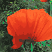 Great_Poppy___DSCN9874-ch