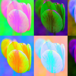 Snowcatcher Kyoto Tulip