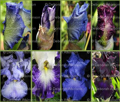 Snowcatcher Iris Majesty