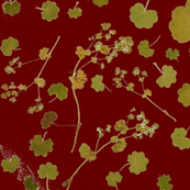 Alchemilla dark red