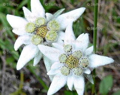 edelweiss - alpine star 1 - schweiz