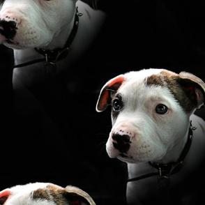 Pit Bull T-Bone Puppy