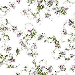 Pandorea jasminoides – Bower Vine C4LH