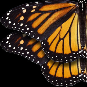 Monarch Butterflies 2