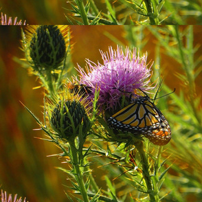 Monarch_on_Thistle