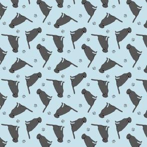 Tiny Black Labrador Retrievers - blue