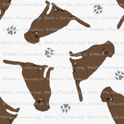 Tiny Chocolate Labrador Retrievers - gray