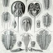 Horseshoe Crab Mollusks Ernst Haeckel Mollusk