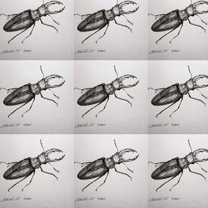 staghorn_beetle