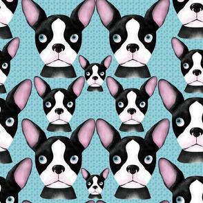 boston_terriers