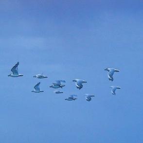 silver_gull_n