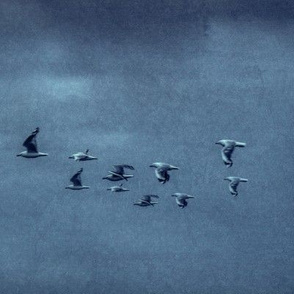 silver_gull_o