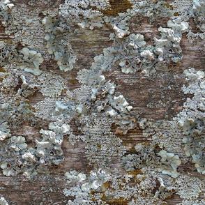 Lichen on Weathered Wood