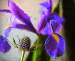 Iris_f_thumb