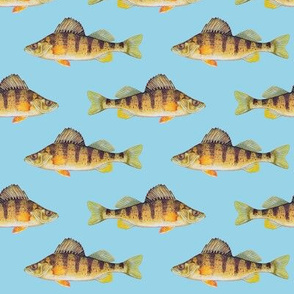 Yellow perch on light blue