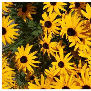 giant blackeyed susans - tea towel