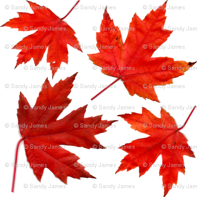 4_sugar_maple_leaves
