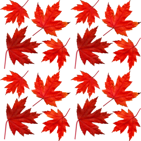 4_sugar_maple_leaves fabric by leroyj on Spoonflower - custom fabric