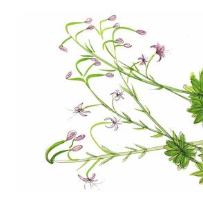 Martagon Lilies
