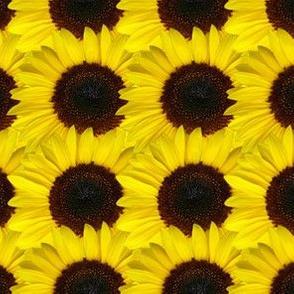 sunflower_texture