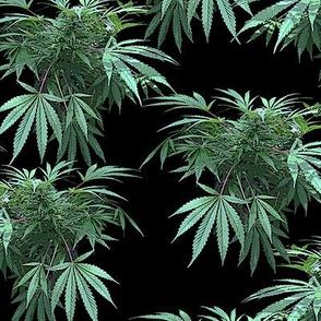 Camomoto Cannabis