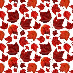 red_maple_november_3