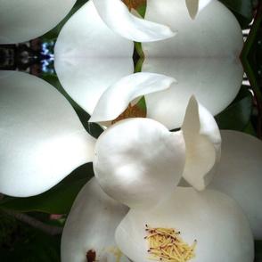 Kaung--magnolia_best_6-11-2015_174