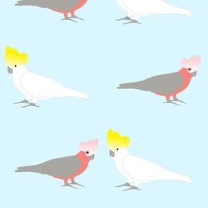 galah-cocky