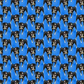Posing Entlebucher mountain dog - small blue