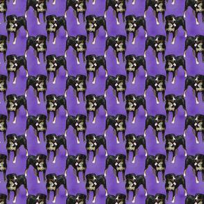Posing Entlebucher mountain dog - small purple