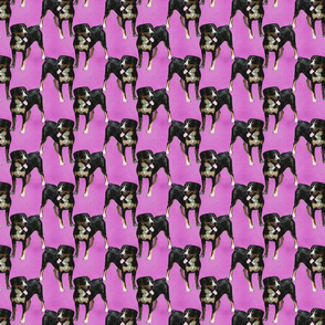 Posing Entlebucher mountain dog - small pink