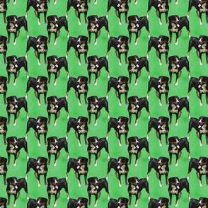 Posing Entlebucher mountain dog - small green