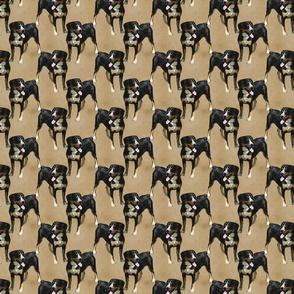 Posing Entlebucher mountain dog - small tan