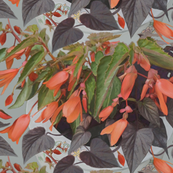 orange-begonia