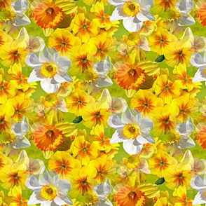 daffodils in yellow and white