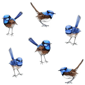 Large Blue Wrens Scattered on White
