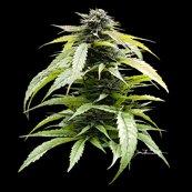 Rcannabisbudportrait12x12_4spf_shop_thumb